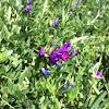 Spring vetch