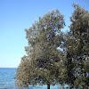Holm Oak / Hrast crnika