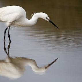 Concentrating by Marsilio Casale - Animals Birds ( bird, wild, nature, white, egret )