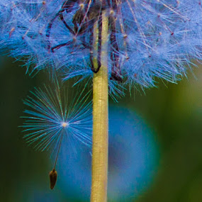 A New Generation by Gerard Toney - Flowers Flowers in the Wild ( new, dandelion, seed, weed, seeds, dandelions )