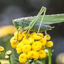 Great Green Bush-Cricket, Pasikonik