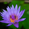 Blue-water Lily
