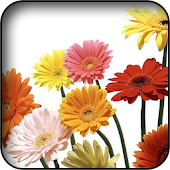Gerbera Wallpapers