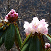 Rhododendron-HuangLong 黃龍-杜鵑