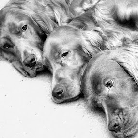 Brotherly Love! by Ken Jarvis - Animals - Dogs Portraits ( love, black and white, irish setter, dog portrait, cute dog )