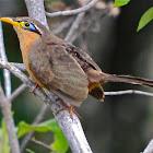 The Lesser Ground Cuckoo