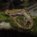 Green Salamander