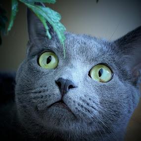 Wishful Thinking by Sona Decker - Animals - Cats Portraits (  )