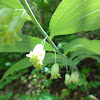Smooth Solomon's Seal
