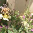Abelha (bee)