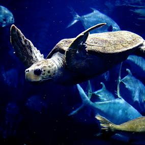 Sea Turtle by Darlene Lankford Honeycutt - Animals Sea Creatures ( charleston, animals, sea creatures, sea turtle, deez, dl honeycutt, south carolina,  )