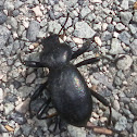 California Broad-necked Darkling Beetle