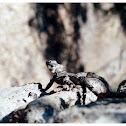 Starred Agama (Κροκοδειλάκι)