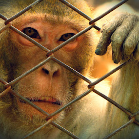 In Captivity by Gaurav Madhopuri - Novices Only Wildlife ( #sad face, #captivity, #animalportrait,  )