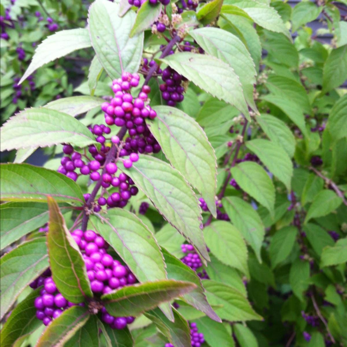 Purple Beautyberry