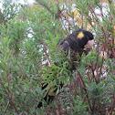 Yellow-Tailed Blak Cockatoo