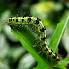 Transverse Moth Caterpillar