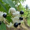 Clerodendrum villosum fruits