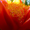 Paintbrush Lilly