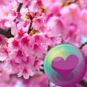 Sakura Cherry Blossoms HD Wall icon