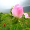 wild rose / rose hip