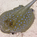 bluespotted stingray, Neotrygon kuhlii