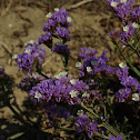 California Sea Lavender