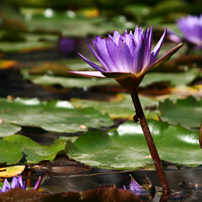 Water lily by István Decsi - Flowers Flowers in the Wild ( water lily, flower,  )