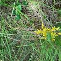 Saxifrage  aizoides