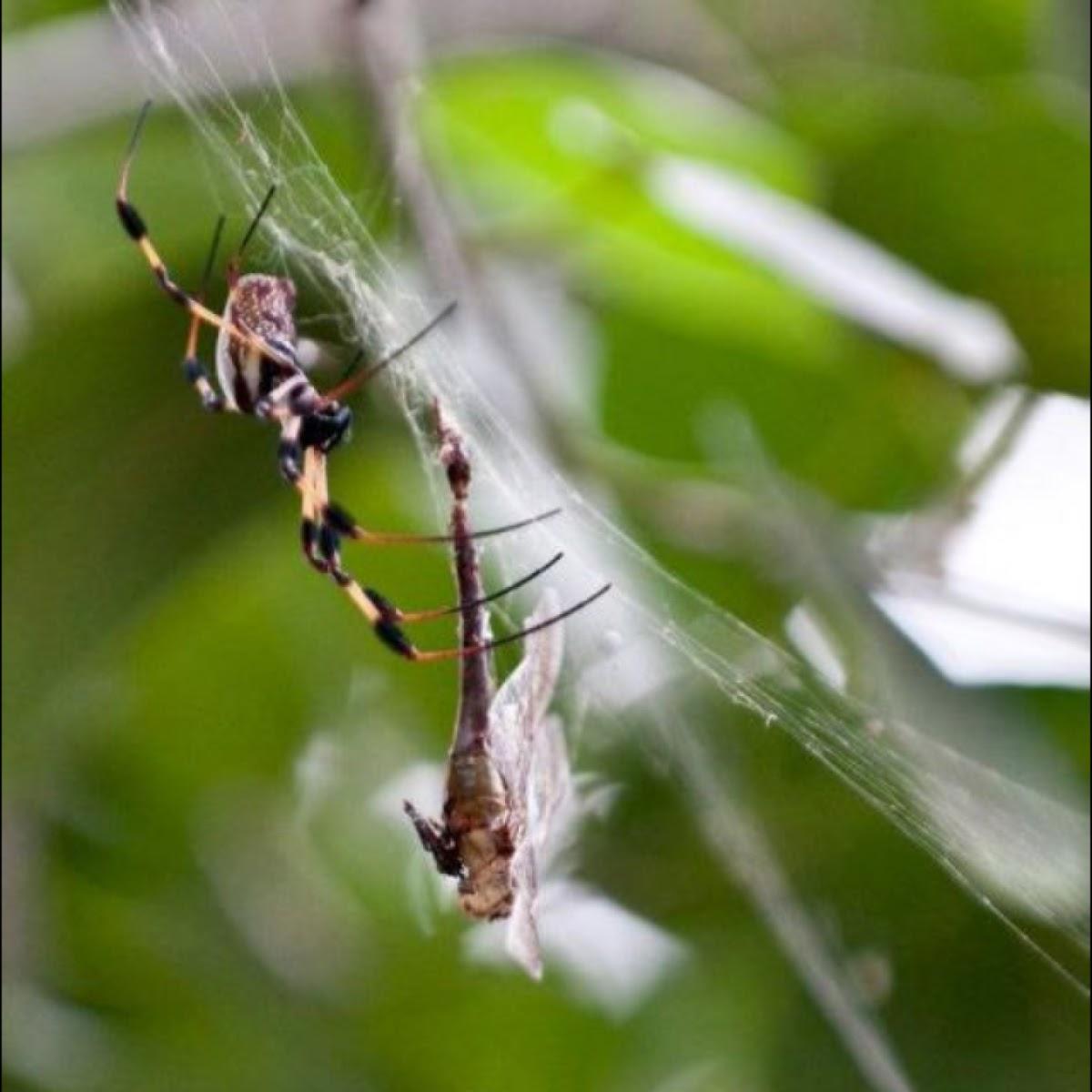 Golden Silk Spider (Banana Spider)