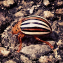 False Colorado Potato Beetle
