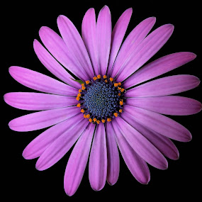 Osteospermum Soprano by Liz Crono - Flowers Single Flower ( annual, daisy, pink, mum,  )