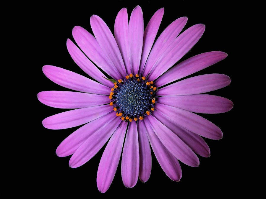 Osteospermum Soprano by Liz Crono - Flowers Single Flower ( annual, daisy, pink, mum,  )