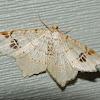 Common Angle Moth