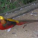 Faisán Dorado (male)