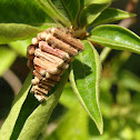 Case Moth (casing)