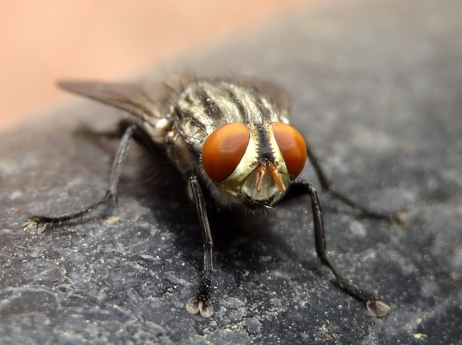 Housefly by Gaurav Sinha - Animals Insects & Spiders ( macro, housefly, nature, india, insect,  )