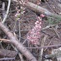 Leafless Pink Wintergreen