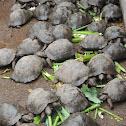 Sierra Negra tortoise