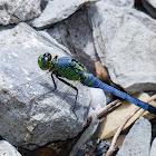 Common green darner (male)