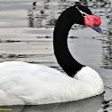 Cisne-de-pescoço-negro
