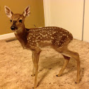White Tail Deer , Fawn -male