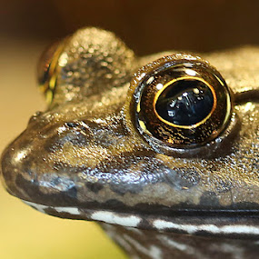 Got my eye on you... by Jared Lantzman - Animals Amphibians ( looking, look, frog, watching, stare, amphibian, focus, gold, eye,  )