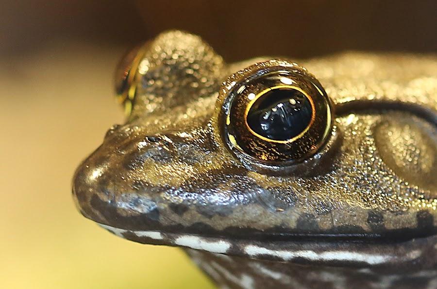 Got my eye on you... by Jared Lantzman - Animals Amphibians ( looking, look, frog, watching, stare, amphibian, focus, gold, eye,  )