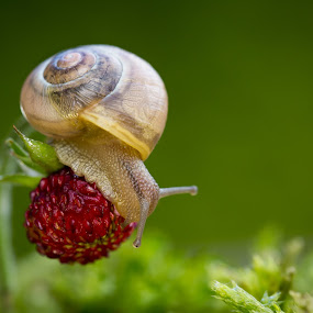 You will Be Mine by Manuela Kägi - Animals Other ( fruit, sweet, summer, snail, strawberry, spring )