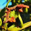 Lobster Moth (caterpillar)
