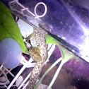 american bullfrog,tadpole
