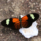 Common Longwing