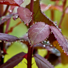 Rain drops.. by Edit Peterffy - Nature Up Close Leaves & Grasses ( nature leaves, red, edit, rain drops )