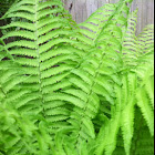 Lady Fern or Common Lady-fern